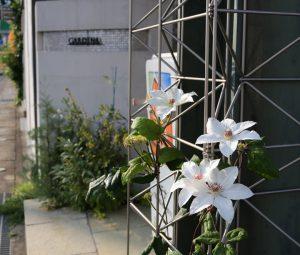 クレマチスが咲いた、、、ガデナ山口店