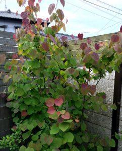マルバノキ を植えましょう。春からきれいで秋には