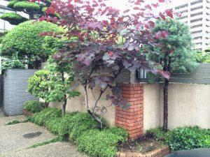 ハナズオウ フォレストパンジー 10年の成長樹